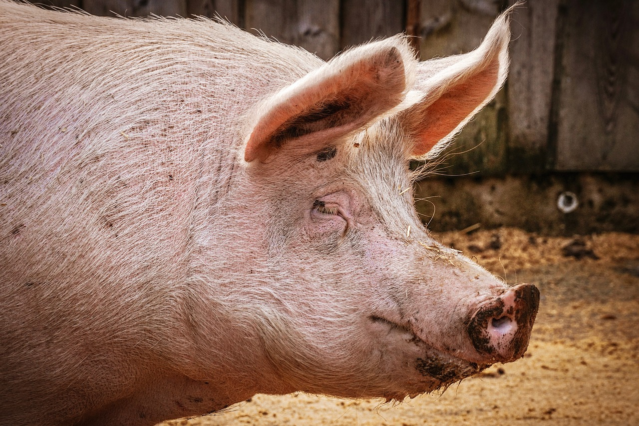 Кризата с чумата по свинете е диагноза за цялото управление на ГЕРБ